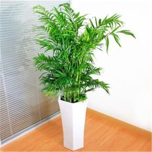 绿植租赁推荐:夏威夷椰子