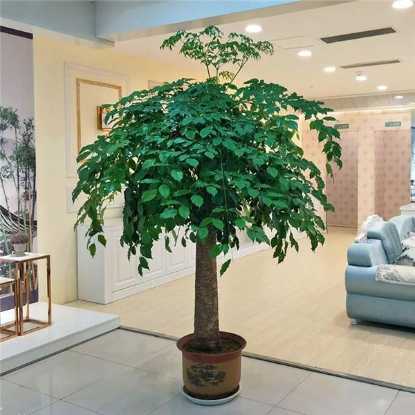 绿植租赁推荐:幸福树