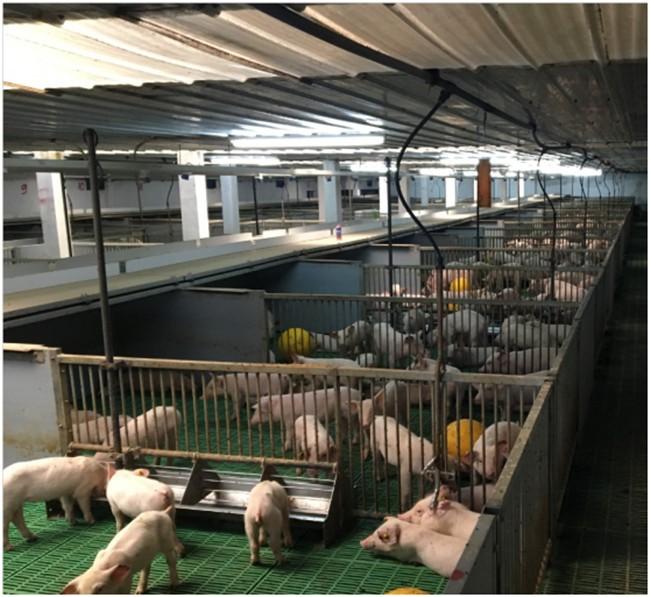 保育豬液態料飼喂系統.jpg